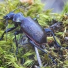Žiaurusis puikiažygis - Calosoma inquisitor | Fotografijos autorius : Romas Ferenca | © Macrogamta.lt | Šis tinklapis priklauso bendruomenei kuri domisi makro fotografija ir fotografuoja gyvąjį makro pasaulį.