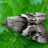 Geltonsparnė peteliškė - Catocala (=Ephesia) fulminea | Fotografijos autorius : Romas Ferenca | © Macrogamta.lt | Šis tinklapis priklauso bendruomenei kuri domisi makro fotografija ir fotografuoja gyvąjį makro pasaulį.