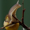 Cepea nemoralis - Rudalūpė dryžė | Fotografijos autorius : Romas Ferenca | © Macrogamta.lt | Šis tinklapis priklauso bendruomenei kuri domisi makro fotografija ir fotografuoja gyvąjį makro pasaulį.