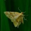 Cepphis advenaria - Gelsvasis miškasprindis | Fotografijos autorius : Romas Ferenca | © Macrogamta.lt | Šis tinklapis priklauso bendruomenei kuri domisi makro fotografija ir fotografuoja gyvąjį makro pasaulį.