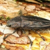 Chalcophora mariana - Didysis blizgiavabalis | Fotografijos autorius : Romas Ferenca | © Macrogamta.lt | Šis tinklapis priklauso bendruomenei kuri domisi makro fotografija ir fotografuoja gyvąjį makro pasaulį.