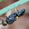 Plokščiamusė - Microchrysa polita | Fotografijos autorius : Romas Ferenca | © Macrogamta.lt | Šis tinklapis priklauso bendruomenei kuri domisi makro fotografija ir fotografuoja gyvąjį makro pasaulį.