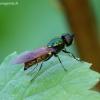 Chloromyia formosa - Plokščiamusė | Fotografijos autorius : Romas Ferenca | © Macrogamta.lt | Šis tinklapis priklauso bendruomenei kuri domisi makro fotografija ir fotografuoja gyvąjį makro pasaulį.