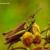 Chorthippus dorsatus - Ganyklinis skėriukas   Fotografijos autorius : Romas Ferenca   © Macrogamta.lt   Šis tinklapis priklauso bendruomenei kuri domisi makro fotografija ir fotografuoja gyvąjį makro pasaulį.