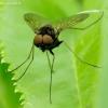 Slankmusė - Chrysopilus splendidus | Fotografijos autorius : Romas Ferenca | © Macrogamta.lt | Šis tinklapis priklauso bendruomenei kuri domisi makro fotografija ir fotografuoja gyvąjį makro pasaulį.