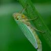 Žalioji cikadelė - Cicadella viridis | Fotografijos autorius : Romas Ferenca | © Macrogamta.lt | Šis tinklapis priklauso bendruomenei kuri domisi makro fotografija ir fotografuoja gyvąjį makro pasaulį.