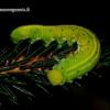 Cimbex connatus - Alksninis cimbeksas | Fotografijos autorius : Romas Ferenca | © Macrogamta.lt | Šis tinklapis priklauso bendruomenei kuri domisi makro fotografija ir fotografuoja gyvąjį makro pasaulį.