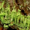 Skutuotoji šiurė - Cladonia fimbriata | Fotografijos autorius : Romas Ferenca | © Macrogamta.lt | Šis tinklapis priklauso bendruomenei kuri domisi makro fotografija ir fotografuoja gyvąjį makro pasaulį.