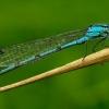 Enallagma cyathigerum - Mėlynoji strėliukė | Fotografijos autorius : Romas Ferenca | © Macrogamta.lt | Šis tinklapis priklauso bendruomenei kuri domisi makro fotografija ir fotografuoja gyvąjį makro pasaulį.