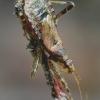 Himacerus apterus - Žiaurioji skerdblakė | Fotografijos autorius : Romas Ferenca | © Macrogamta.lt | Šis tinklapis priklauso bendruomenei kuri domisi makro fotografija ir fotografuoja gyvąjį makro pasaulį.
