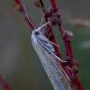Švendrinis žolinis ugniukas - Calamotropha paludella | Fotografijos autorius : Romas Ferenca | © Macrogamta.lt | Šis tinklapis priklauso bendruomenei kuri domisi makro fotografija ir fotografuoja gyvąjį makro pasaulį.