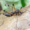 Ilgakojis uodas - Dictenidia bimaculata | Fotografijos autorius : Romas Ferenca | © Macrogamta.lt | Šis tinklapis priklauso bendruomenei kuri domisi makro fotografija ir fotografuoja gyvąjį makro pasaulį.