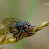 Emmesomyia socia - Žiedenė | Fotografijos autorius : Romas Ferenca | © Macrogamta.lt | Šis tinklapis priklauso bendruomenei kuri domisi makro fotografija ir fotografuoja gyvąjį makro pasaulį.