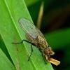Botanophila sp. - Žiedenė | Fotografijos autorius : Romas Ferenca | © Macrogamta.lt | Šis tinklapis priklauso bendruomenei kuri domisi makro fotografija ir fotografuoja gyvąjį makro pasaulį.