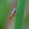 Vaisinė muselė - Lordiphosa sp. | Fotografijos autorius : Romas Ferenca | © Macrogamta.lt | Šis tinklapis priklauso bendruomenei kuri domisi makro fotografija ir fotografuoja gyvąjį makro pasaulį.