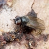 Lonchaeidae - Musė | Fotografijos autorius : Romas Ferenca | © Macrogamta.lt | Šis tinklapis priklauso bendruomenei kuri domisi makro fotografija ir fotografuoja gyvąjį makro pasaulį.