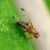 Musė - Geomyza sp. | Fotografijos autorius : Romas Ferenca | © Macrogamta.lt | Šis tinklapis priklauso bendruomenei kuri domisi makro fotografija ir fotografuoja gyvąjį makro pasaulį.
