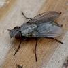 Tikramusė - Muscidae | Fotografijos autorius : Romas Ferenca | © Macrogamta.lt | Šis tinklapis priklauso bendruomenei kuri domisi makro fotografija ir fotografuoja gyvąjį makro pasaulį.