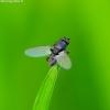 Musė - Pullimosina sp. | Fotografijos autorius : Romas Ferenca | © Macrogamta.lt | Šis tinklapis priklauso bendruomenei kuri domisi makro fotografija ir fotografuoja gyvąjį makro pasaulį.