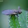 Minamusė - Agromyzidae  | Fotografijos autorius : Romas Ferenca | © Macrogamta.lt | Šis tinklapis priklauso bendruomenei kuri domisi makro fotografija ir fotografuoja gyvąjį makro pasaulį.