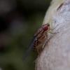Vaisinė muselė - Drosphila busckii | Fotografijos autorius : Romas Ferenca | © Macrogamta.lt | Šis tinklapis priklauso bendruomenei kuri domisi makro fotografija ir fotografuoja gyvąjį makro pasaulį.