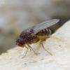 Vaisinė muselė - Drosophila hydei | Fotografijos autorius : Romas Ferenca | © Macrogamta.lt | Šis tinklapis priklauso bendruomenei kuri domisi makro fotografija ir fotografuoja gyvąjį makro pasaulį.
