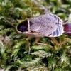 Miškinis prūsokas - Ectobius sylvestris | Fotografijos autorius : Romas Ferenca | © Macrogamta.lt | Šis tinklapis priklauso bendruomenei kuri domisi makro fotografija ir fotografuoja gyvąjį makro pasaulį.