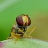 Episyrphus balteatus - Žiedmusė | Fotografijos autorius : Romas Ferenca | © Macrogamta.lt | Šis tinklapis priklauso bendruomenei kuri domisi makro fotografija ir fotografuoja gyvąjį makro pasaulį.