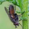 Dygliamusė - Eriothrix rufomaclata | Fotografijos autorius : Romas Ferenca | © Macrogamta.lt | Šis tinklapis priklauso bendruomenei kuri domisi makro fotografija ir fotografuoja gyvąjį makro pasaulį.