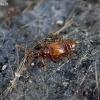 Graibvabalis - Euplectus punctatus | Fotografijos autorius : Romas Ferenca | © Macrogamta.lt | Šis tinklapis priklauso bendruomenei kuri domisi makro fotografija ir fotografuoja gyvąjį makro pasaulį.