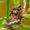 Evarcha arcuata - Vaivorykštinis musėgaudis | Fotografijos autorius : Romas Ferenca | © Macrogamta.lt | Šis tinklapis priklauso bendruomenei kuri domisi makro fotografija ir fotografuoja gyvąjį makro pasaulį.