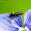 Glyphipterix simpliciella - Šunažolinė sidabrataškė kandis | Fotografijos autorius : Romas Ferenca | © Macrogamta.lt | Šis tinklapis priklauso bendruomenei kuri domisi makro fotografija ir fotografuoja gyvąjį makro pasaulį.