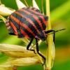 Graphosoma lineatum - Juostelinė skydblakė | Fotografijos autorius : Romas Ferenca | © Macrogamta.lt | Šis tinklapis priklauso bendruomenei kuri domisi makro fotografija ir fotografuoja gyvąjį makro pasaulį.