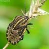 Juostelinė skydblakė - Graphosoma lineatum, nimfa | Fotografijos autorius : Romas Ferenca | © Macrogamta.lt | Šis tinklapis priklauso bendruomenei kuri domisi makro fotografija ir fotografuoja gyvąjį makro pasaulį.
