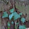 Gebenė lipikė - Hedera helix | Fotografijos autorius : Romas Ferenca | © Macrogamta.lt | Šis tinklapis priklauso bendruomenei kuri domisi makro fotografija ir fotografuoja gyvąjį makro pasaulį.