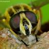 Žiedmusė - Helophilus trivittatus | Fotografijos autorius : Romas Ferenca | © Macrogamta.lt | Šis tinklapis priklauso bendruomenei kuri domisi makro fotografija ir fotografuoja gyvąjį makro pasaulį.