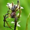 Larinioides patagiatus - Pleištadėmis žnypliavoris | Fotografijos autorius : Romas Ferenca | © Macrogamta.lt | Šis tinklapis priklauso bendruomenei kuri domisi makro fotografija ir fotografuoja gyvąjį makro pasaulį.