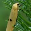 Keturtaškė kerpytė - Lithosia quadra ♀ | Fotografijos autorius : Romas Ferenca | © Macrogamta.lt | Šis tinklapis priklauso bendruomenei kuri domisi makro fotografija ir fotografuoja gyvąjį makro pasaulį.