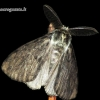 Lymantria monacha - Vienuolis verpikas | Fotografijos autorius : Romas Ferenca | © Macrogamta.lt | Šis tinklapis priklauso bendruomenei kuri domisi makro fotografija ir fotografuoja gyvąjį makro pasaulį.