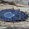 Drebulinė žieviablakė - Mezira tremulae | Fotografijos autorius : Romas Ferenca | © Macrogamta.lt | Šis tinklapis priklauso bendruomenei kuri domisi makro fotografija ir fotografuoja gyvąjį makro pasaulį.