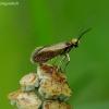 Purieninė kandis - Micropterix calthella | Fotografijos autorius : Romas Ferenca | © Macrogamta.lt | Šis tinklapis priklauso bendruomenei kuri domisi makro fotografija ir fotografuoja gyvąjį makro pasaulį.