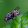 Girinukė - Minettia fasciata ? | Fotografijos autorius : Romas Ferenca | © Macrogamta.lt | Šis tinklapis priklauso bendruomenei kuri domisi makro fotografija ir fotografuoja gyvąjį makro pasaulį.