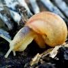 Helix pomatia - Vynuoginė sraigė | Fotografijos autorius : Romas Ferenca | © Macrogamta.lt | Šis tinklapis priklauso bendruomenei kuri domisi makro fotografija ir fotografuoja gyvąjį makro pasaulį.
