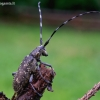Mažasis ožiaragis - Monochamus sutor | Fotografijos autorius : Romas Ferenca | © Macrogamta.lt | Šis tinklapis priklauso bendruomenei kuri domisi makro fotografija ir fotografuoja gyvąjį makro pasaulį.