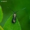 Nemophora metallica - Buožaininė ilgaūsė makštinė kandis | Fotografijos autorius : Romas Ferenca | © Macrogamta.lt | Šis tinklapis priklauso bendruomenei kuri domisi makro fotografija ir fotografuoja gyvąjį makro pasaulį.