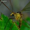 Nephrotoma scurra - Ilgakojis uodas | Fotografijos autorius : Romas Ferenca | © Macrogamta.lt | Šis tinklapis priklauso bendruomenei kuri domisi makro fotografija ir fotografuoja gyvąjį makro pasaulį.