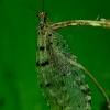 Geltongalvis tinkluotis - Osmylus fulvicephalus | Fotografijos autorius : Romas Ferenca | © Macrogamta.lt | Šis tinklapis priklauso bendruomenei kuri domisi makro fotografija ir fotografuoja gyvąjį makro pasaulį.