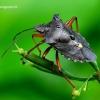 Pentatoma rufipes - Raudonkojė skydblakė | Fotografijos autorius : Romas Ferenca | © Macrogamta.lt | Šis tinklapis priklauso bendruomenei kuri domisi makro fotografija ir fotografuoja gyvąjį makro pasaulį.
