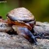 Dvidantė lapsraigė - Perforatella bidentata | Fotografijos autorius : Romas Ferenca | © Macrogamta.lt | Šis tinklapis priklauso bendruomenei kuri domisi makro fotografija ir fotografuoja gyvąjį makro pasaulį.