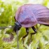 Phosphuga atrata - Šliužagraužis maitvabalis | Fotografijos autorius : Romas Ferenca | © Macrogamta.lt | Šis tinklapis priklauso bendruomenei kuri domisi makro fotografija ir fotografuoja gyvąjį makro pasaulį.